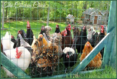 Some chickens find the grass greener on the other side of any place they are, but there are times when it is necessary to confine them for their own safety (busy road, dogs next door, etc) or to preserve a garden. Wing clipping a way to limit a chicken's ability to fly.