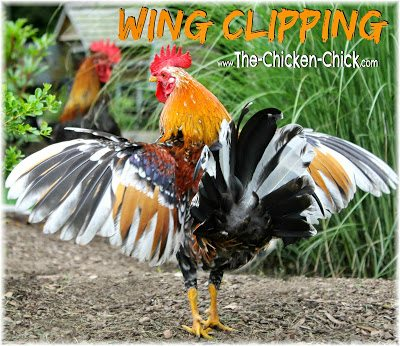 There are times when it may be necessary to limit a chicken's ability to fly and wing clipping is a means to that end. Whether to clip a chicken's wings should be carefully considered by weighing the pros and cons as the disadvantages are significant. When done properly, wing clipping is painless.