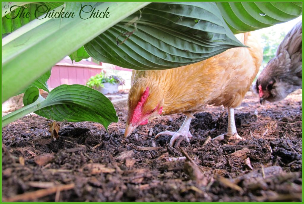 Freshly disturbed earth is very enticing to chickens and nothing is quite as upsetting as finding that the flock has uprooted a plant that I just planted. To deter unwanted excavation, I surround new plantings with pavers or rocks to give them a fighting chance. Works like a charm!