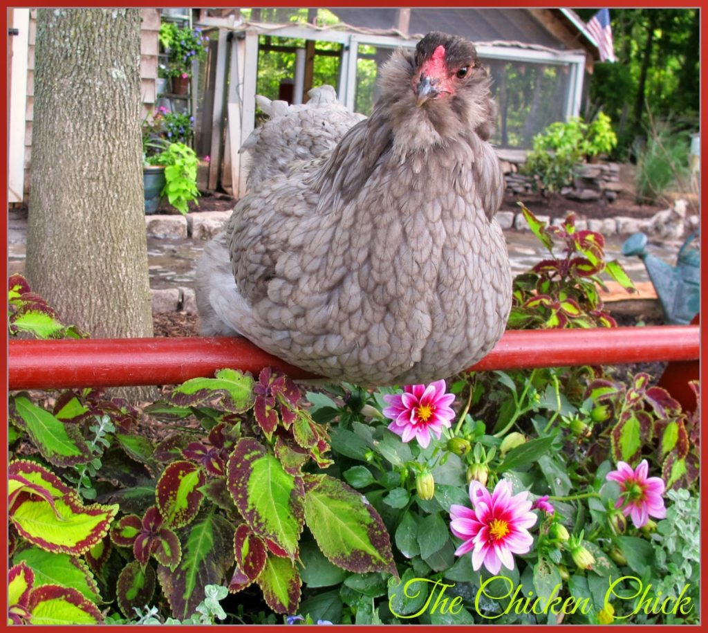 EXPECT ROOSTING: Adding elements such as spikes or non-living adornments such as twigs discourages chickens from standing in or on the surrounding plants. The most determined bird will roost in or on the containers. Just accept defeat.