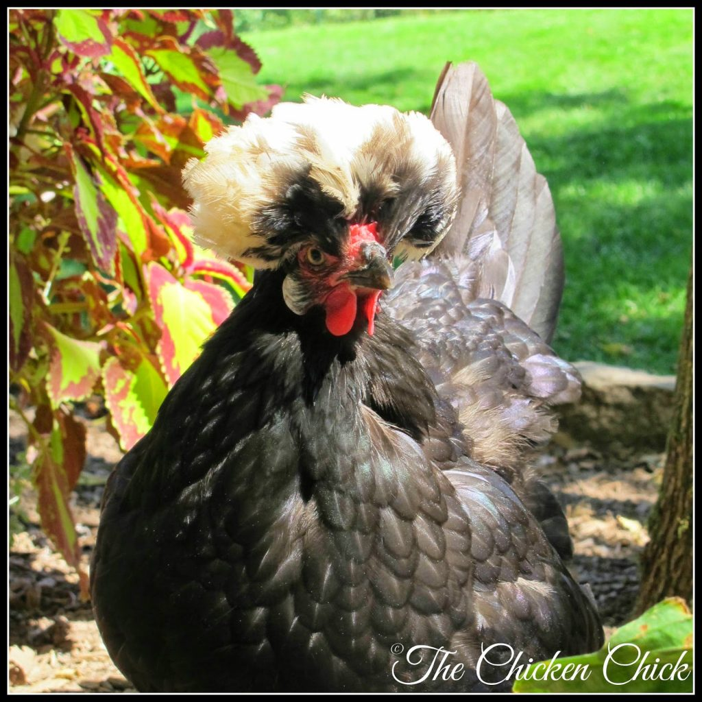 Doc Brown is a White Crested Black Polish hen.