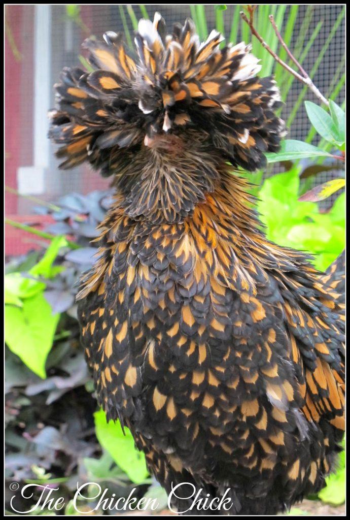 Ally McBeak (Tolbunt Polish Frizzle hen).