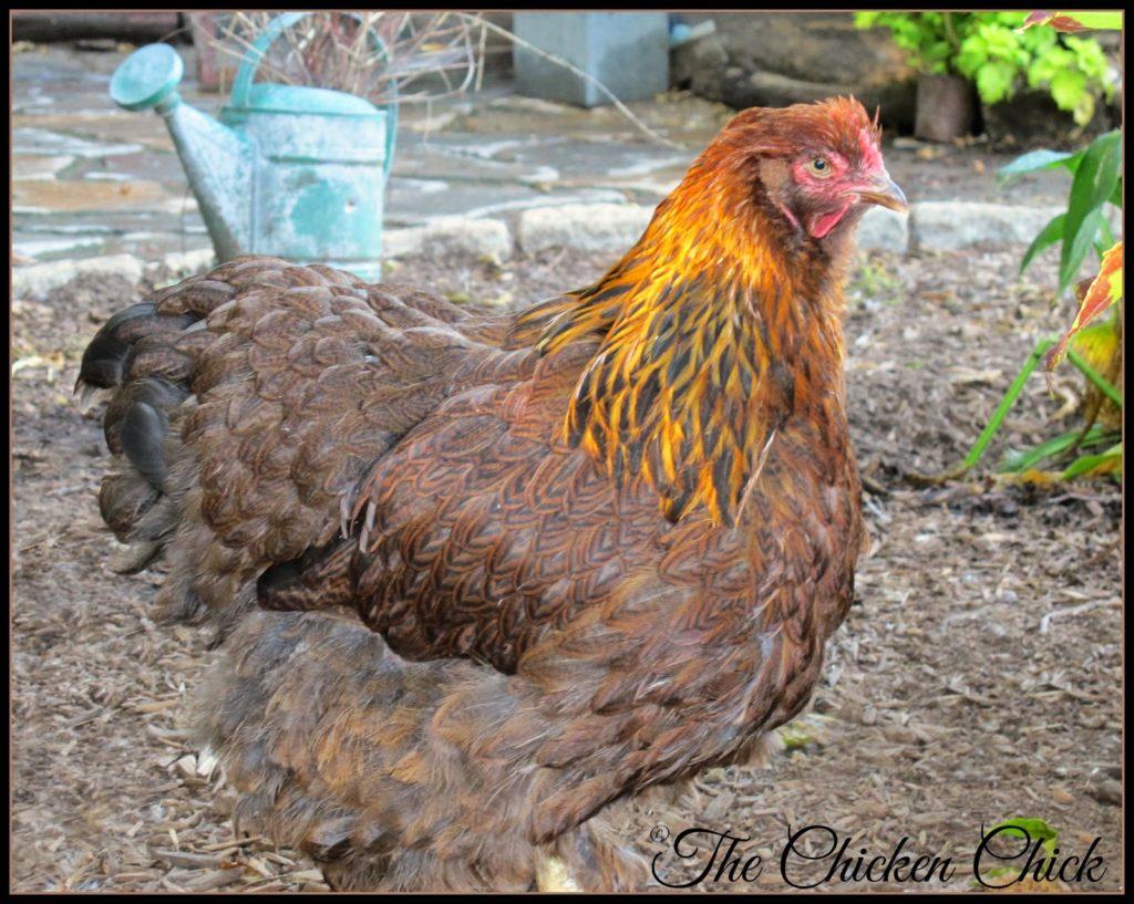Bertha (Partridge Cochin hen)