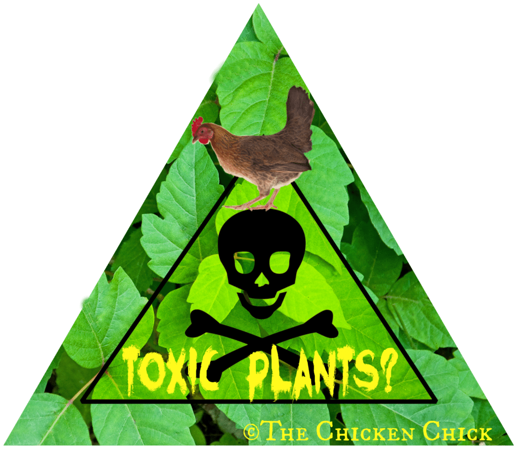 Scientists don't know much about the types and doses of plant toxins that affect free-range chickens. Fortunately, plant poisonings are very rare occurrences in chicken flocks, perhaps because chickens possess some instinctive nutritional wisdom. If they have a choice, they'll reject a food that tastes funny to them.