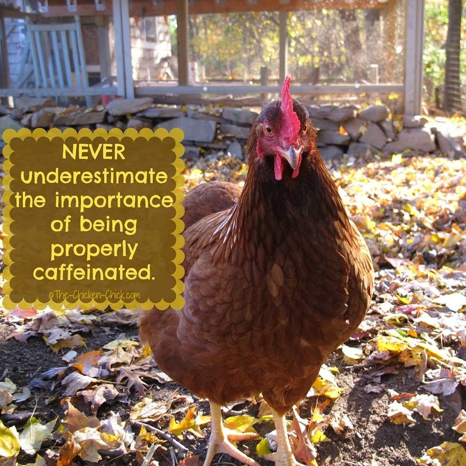Never underestimate the importance of being properly caffeinated. (Red Sex Link pullet)