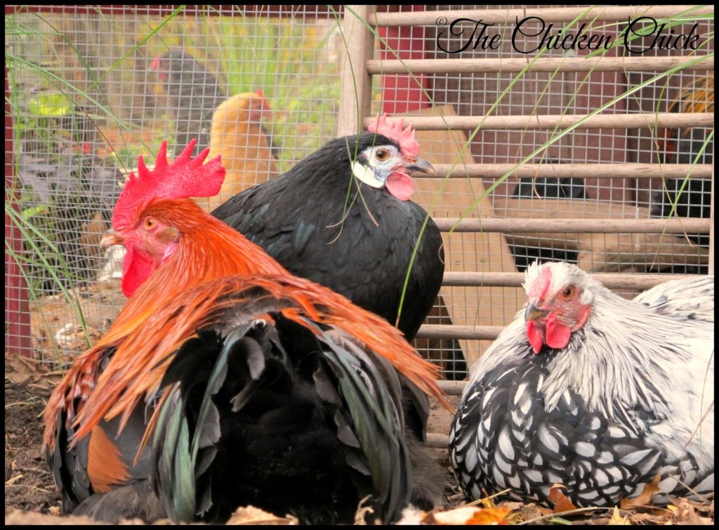 Red Dorking cockerel, Black White Faced Spanish pullet & Silver Laced Wyandotte cockerel