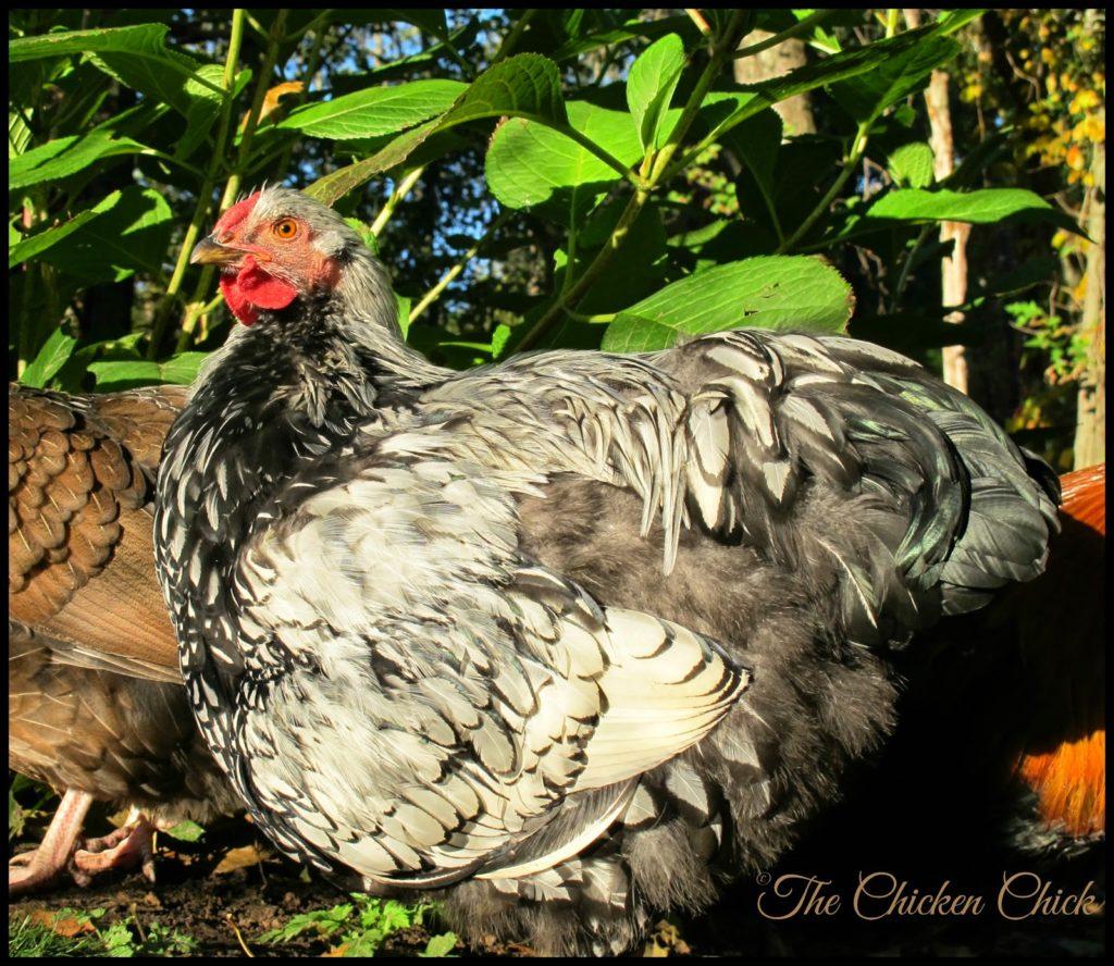 Silvio (Silver Laced Wyandotte cockerel)