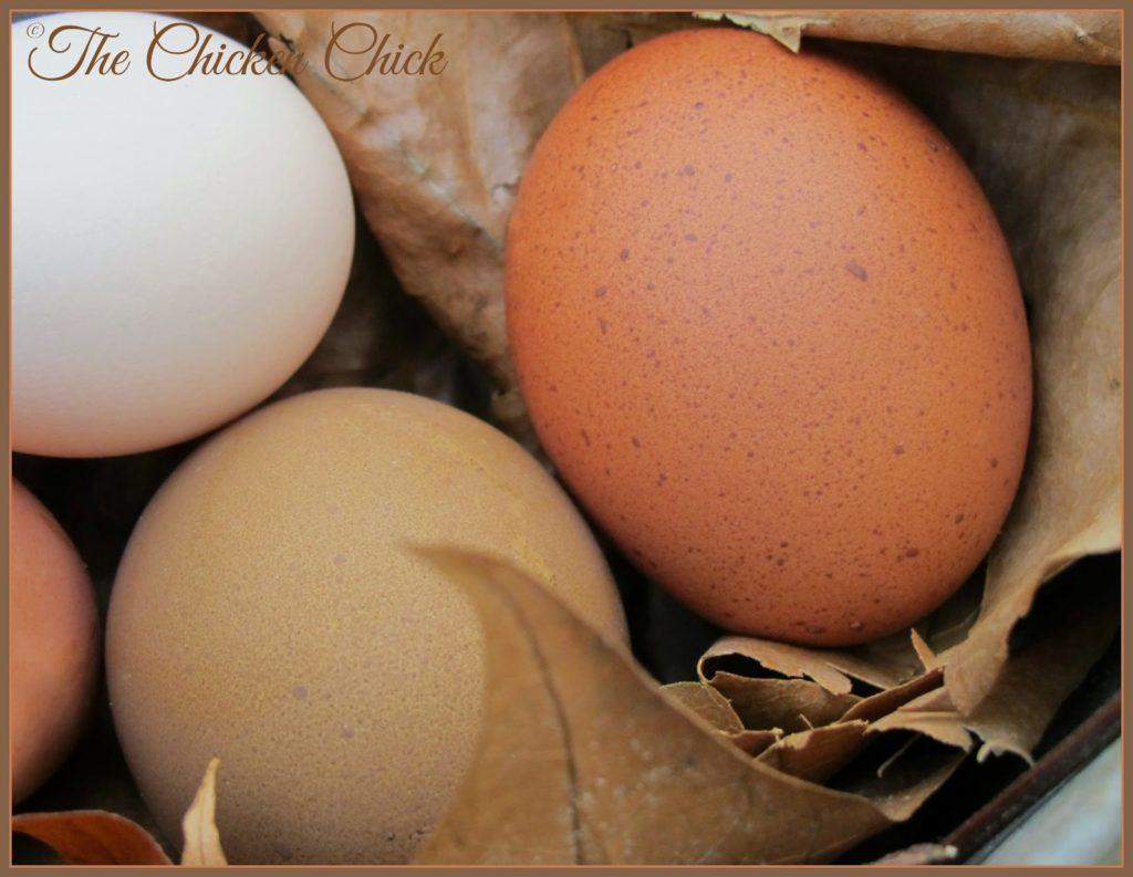 Polish egg (white) Olive Egger egg (green) and Marans egg (dark brown)