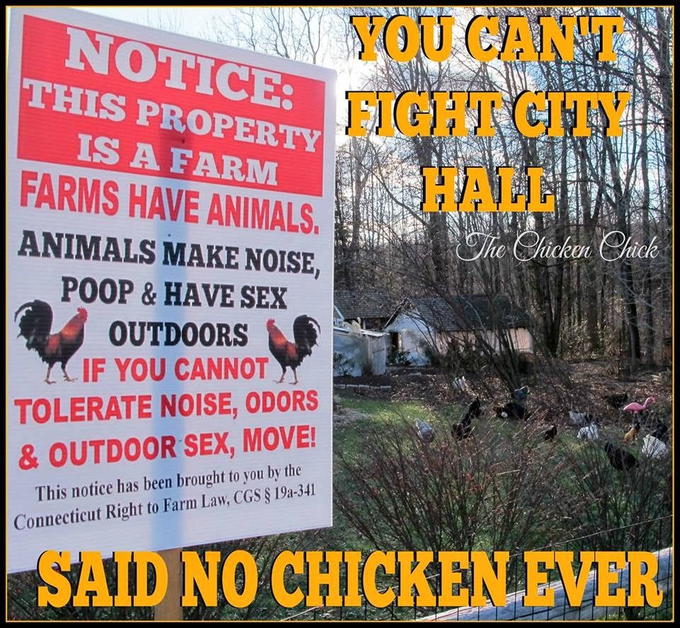 The focus of one Connecticut judge was on my backyard chickens this week as he facilitated a settlement conference between me & Mr. Chicken Chick and the town of Suffield, which sued me for the removal of my chickens from my backyard.