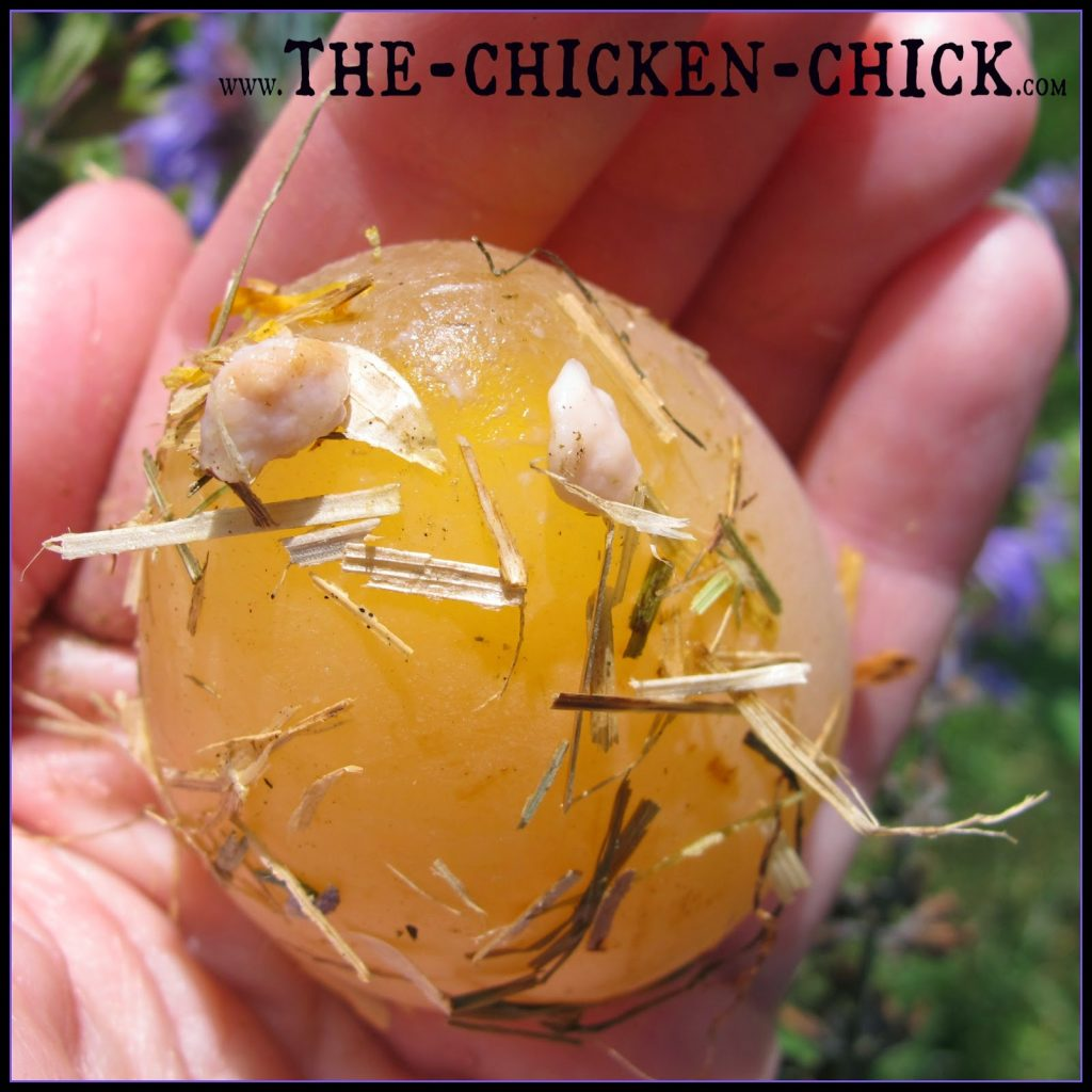 Salpingitis Amp Lash Eggs In Backyard Chickens The Pus