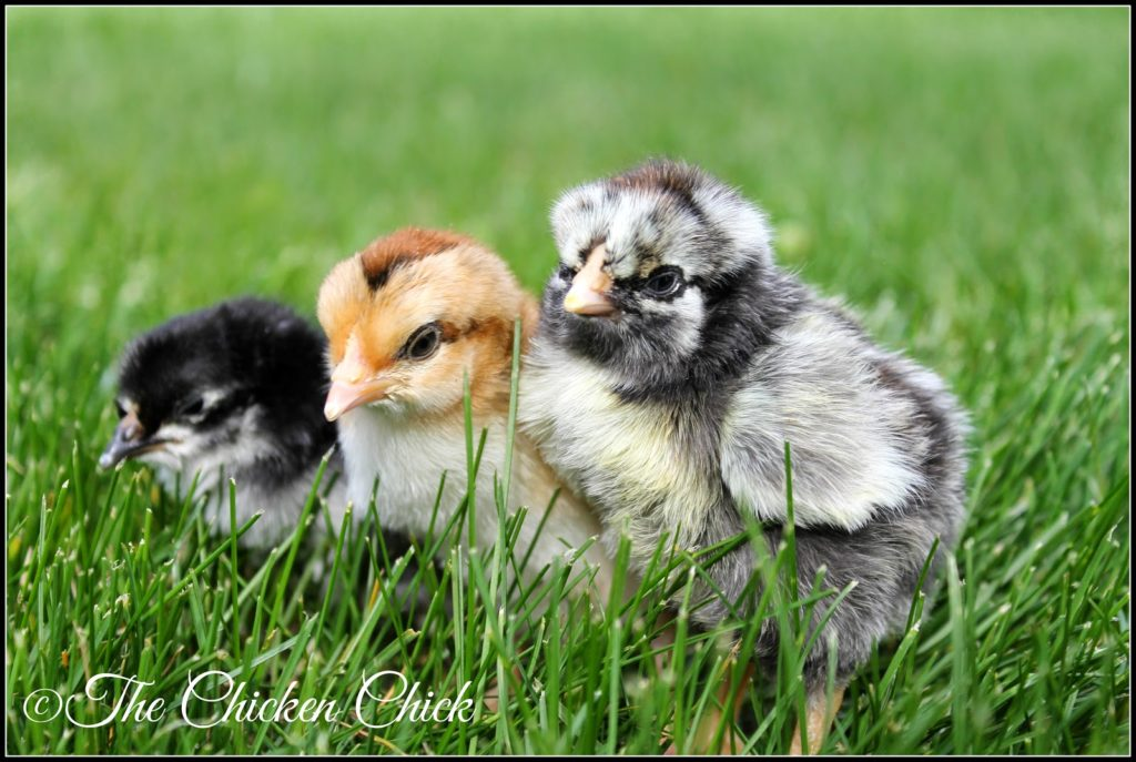 A research team with the University of Arkansas studying the effects of probiotics on young chicks has found that giving probiotics to newly hatched chicks helps to keep them from developing and passing on diseases in later life, including Salmonella Enteritis.