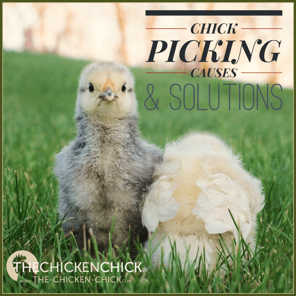 Picking can run rampant in a brooder, resulting in serious injuries and death, so it's critical to control the factors that cause picking and address injuries urgently.