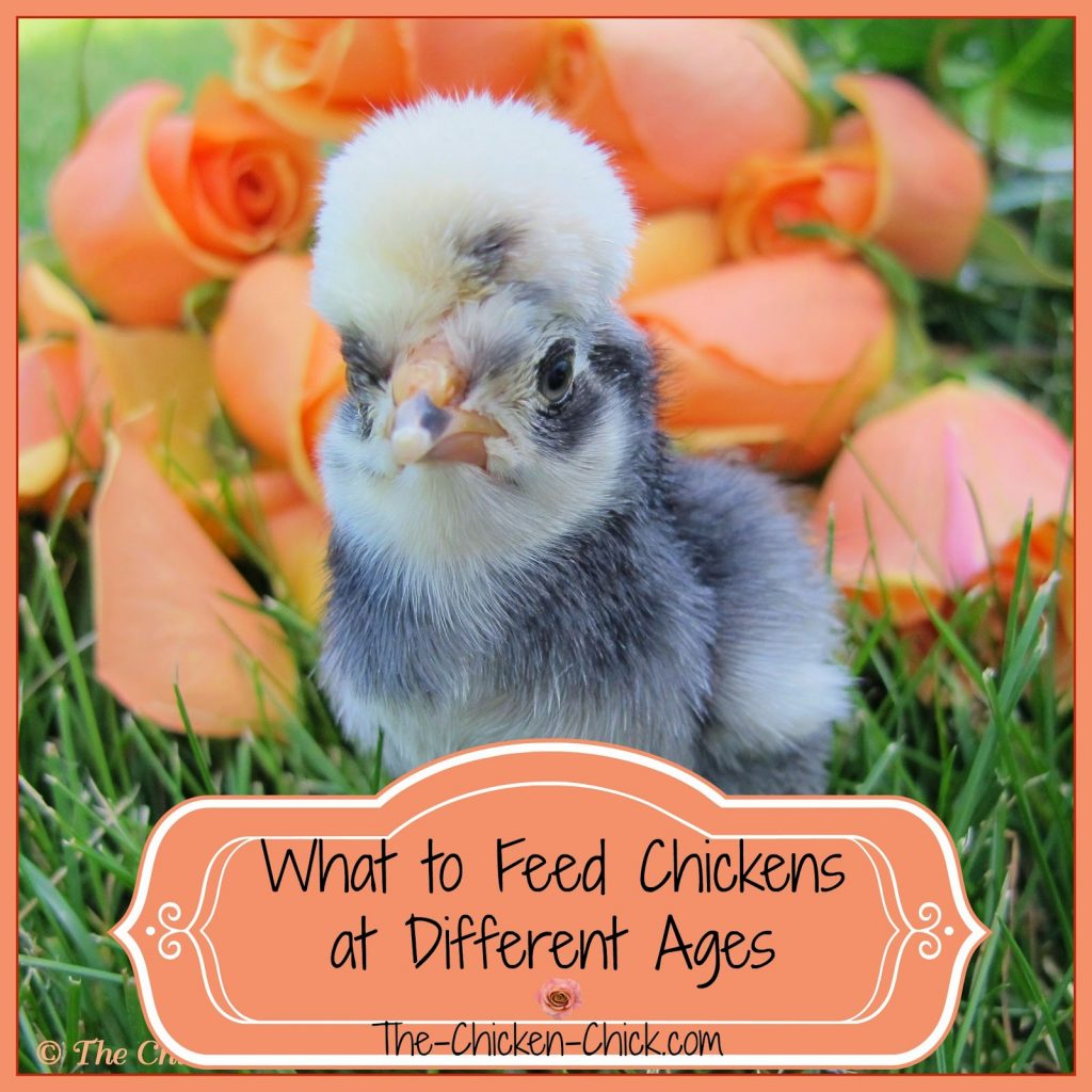 Chickens at different stages of development require different feed formulations. This article explains what they need at different ages and stages of development.