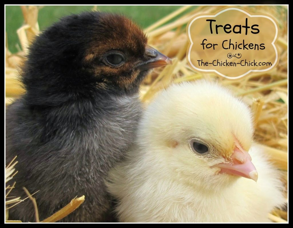 The wrong treats and treats in excess can be harmful to a chick's health, stunt growth and shorten their lifespan. So, we should be aware of what can they eat, what should they not eat and how much is too much.