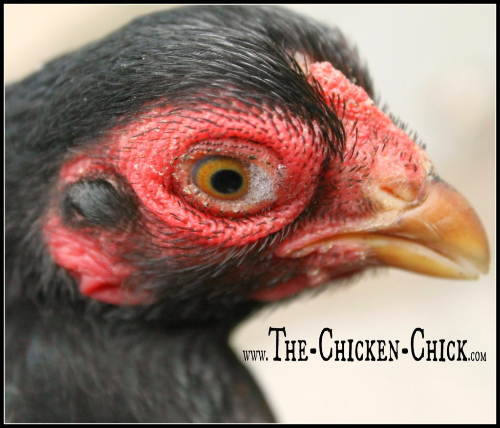 Once you have some idea about what could possibly be going on with your chicken, visit my Chicken Resources Directory for common chicken ailments and at-home treatments when a vet is not an option.