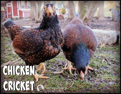 CHICKEN CRICKET Purchase live crickets online or at a local pet store for a game of Catch-Me-If-You-Can!