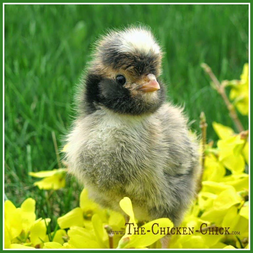 TIMING IS EVERYTHING Build or buy the chicken coop before the chicks arrive! They grow at the speed of light and feather-weight baby chicks become poop and dust-generating machines in just a few weeks!