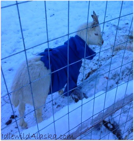 A Death on the Homestead, shared by Idlewild Alaska