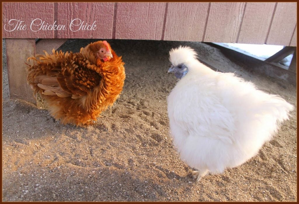 Raise the coop off the ground a foot or two- this creates additional outdoor square footage for confined chickens, a shady spot in hot weather, a dry space in the rain and a hiding spot for bullied birds.