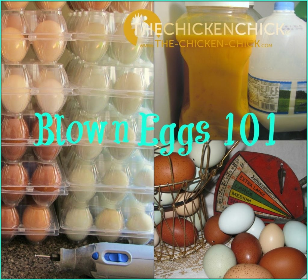 When blowing eggs for crafting or decorating, the egg contents can be frozen for personal use or as a high protein treat for chickens during molting season or in the heat of summer