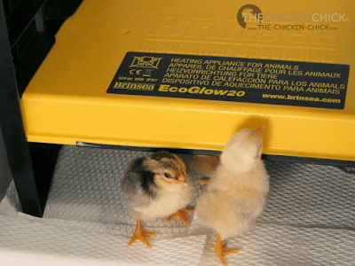 Brinsea EcoGlow radiant heat chick brooder