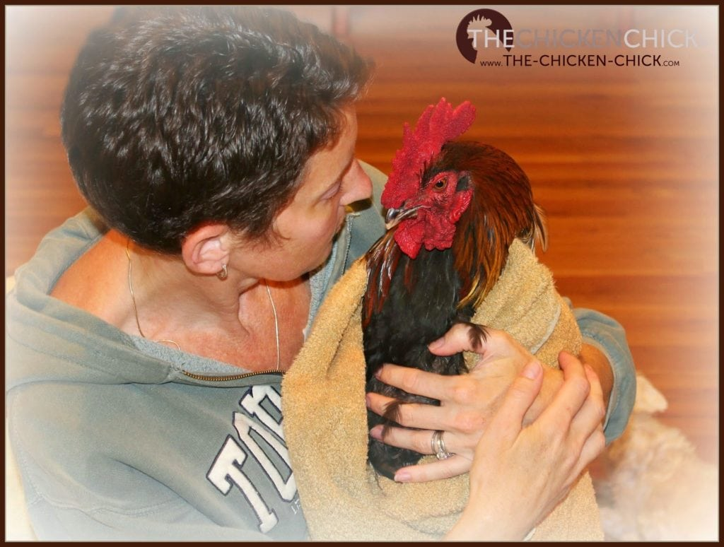Immediately move an injured chicken to safety away from the flock to avoid further injury by other chickens. Wrapping the chicken in a large towel can help keep it calm and prevent further injury if they panic or during an escape attempt.