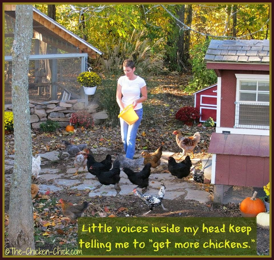 """Little voices in my head keep telling me to """"get more chickens."""""""