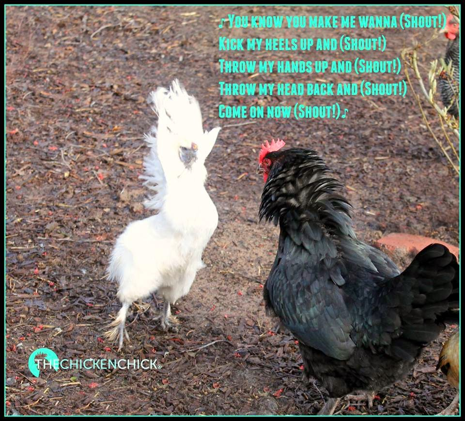Silkie chicken dance!