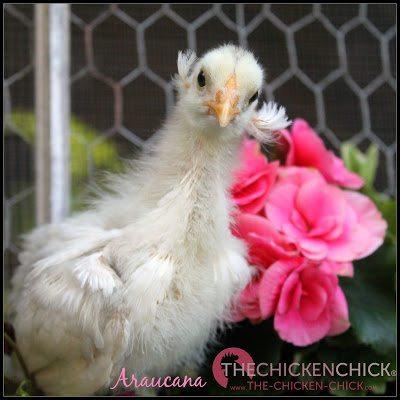 true Araucana chick