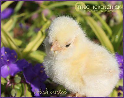 Polish crested chick via via www.The-Chicken-Chick.com