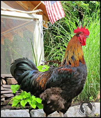 There may be a temptation to believe that aggressive roosters are mean, nasty, bad, evil, hostile, hate people or there was something someone did to cause the unwanted behavior, but none of that is true.