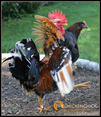 Chickens are prey animals and as such, are naturally wary of novel things and unfamiliar movements as potential threats to their lives. A roosters is constantly on alert for potential incursions into his territory.