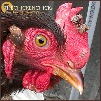 Dry Fowl Pox is a viral infection that affects a chicken's skin in non-feathered areas, most commonly, the comb, wattles, face and eyelids.