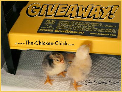 Brinsea EcoGlow Chick Brooder Giveaway at www.The-Chicken-Chick.com