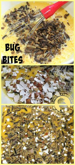 Bug Bites are a phenomenal source of protein and calcium for molting chickens