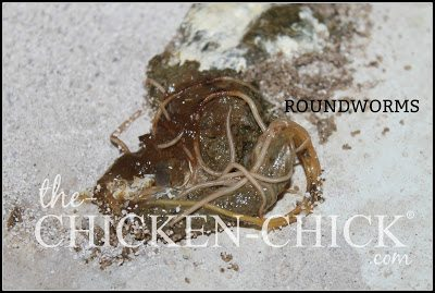Worms | Roundworms in chicken droppings. www.The-Chicken-Chick.com