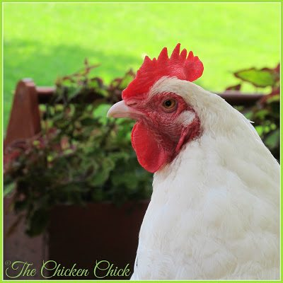 An adult chicken should maintain a consistent weight. Weight loss may indicate things like worms, coccidiosis, malnutrition and bullying. Weight gain indicates over-feeding, usually by way of treats, snacks and kitchen scraps. Obesity related complications leading to death is a problem of epidemic proportions in backyard pet chickens.