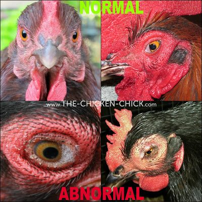 A chicken's eyes should be clear, bright, round and moist. The pupils should be round and equal in size. The iris (colored portion of the eye) should not be grey. They eyes should not be dry, sunken, swollen, cloudy, watery or crusty; there should be no bubbles or other discharge. Chickens possess a third eyelid, which is normal and generally ruins an otherwise decent photo.