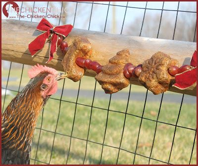 Treats/scraps/snacks should not be fed to chickens daily due to the obesity-related health concerns which have reached epidemic proportions in backyard chickens.