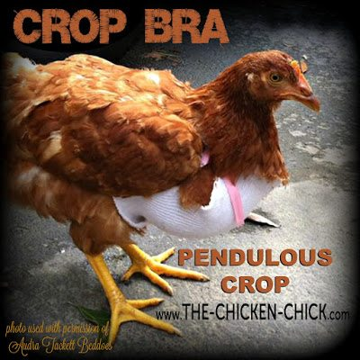 "If detected early, in some cases a sling can be fashioned to support the sagging crop muscle. 4"" Vetrap used to create gentle, even support can help keep the crop in its proper anatomical position. Chickens with pendulous crop remain at risk for sour crop"