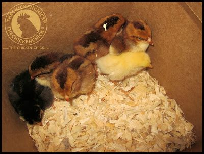 Unwell, injured, cold, hungry or lost chicks often huddle together while awake.