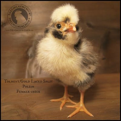 Healthy Polish chick: bright eyes, straight toes and legs, erect posture.