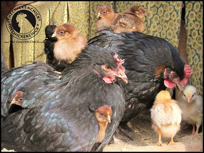 A terrific alternative to artificial incubation is having a broody hen do all the work for you! It's not as simple as it sounds so do some homework and figure out whether it's workable in your flock.