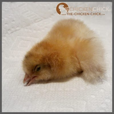 A healthy chick's eyes are open, alert and bright. An unhealthy chick may have a thousand-mile stare, may not react when approached, may appear sleepy most of the time or crusted shut.