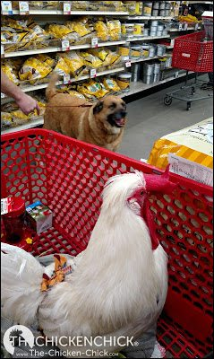 Chick Days at a Tractor Supply Company store.