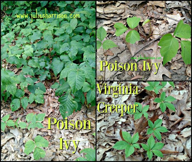 Here is a plentiful patch of Poison Ivy. Notice that the plant has leaves grouped constantly by three.