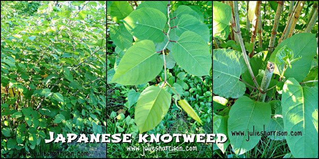 Japanese Knotweed grows quickly and aggressively, it has a unique zig-zag shaped branch with very think clumping rhizomes. The stems of Japanese Knotweed are hollow and look similar to bamboo.