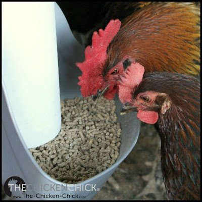 Adding unnecessary supplements to a quality commercial chicken feed can endanger the health and lives of backyard chickens.