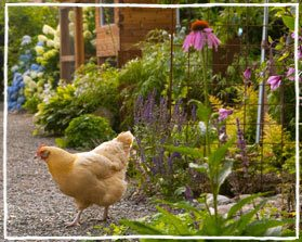 Free Range Chicken Gardens, How to Create a Beautiful, Chicken-friendly Yard by Jessi Bloom