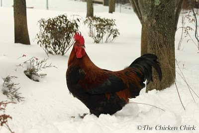Whether to Heat the Chicken Coop in Cold Weather